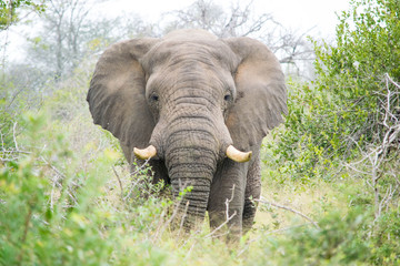 African Elephant, Kruger National Park, South Africa