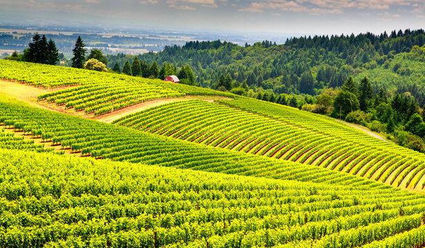 Pastoral vinyard