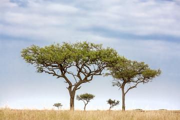 Acacia tress in the Masai Mara
