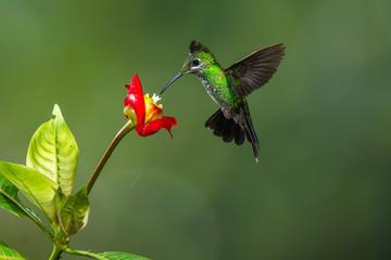 colibrì hummingbirds Costa Rica