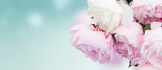 Fresh peony flowers colored in shades of pink close up on blue background banner