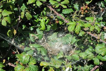 Cobweb in Bramble
