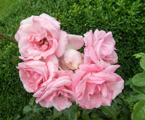 Beautiful natural roses with water drops photographed after rain