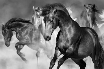 Horse portrait in herd in motion in desert dust. Balck and white