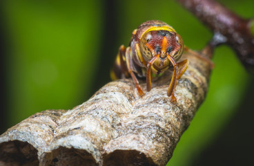 hornet protect larvae on nest. dangerous insect and poisonous make human hurt.