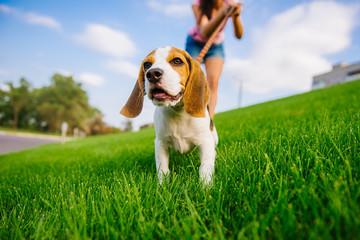 Dog on green meadow. Beagle puppy walking