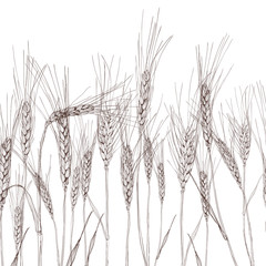 Vector seamless horizontal background with isolated ear of wheat. Black and white hand drawn sketched wheat. Concept for agriculture, organic cereal products, harvesting grain, bakery, healthy food.