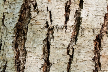 Closeup on the bark of a Chinese mahogany - Toona sinensis- texture or background