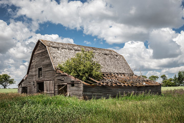horizontal image of an old abandoned brown wooden barn with a tree growing out of a part of the caved in roof in the summer time.