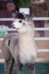 Llamas (Alpaca) in the stables