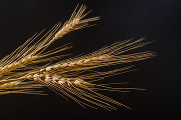 Barley grain on black background