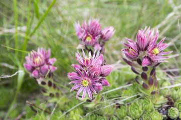 Sempervivum montanum, Mountain houseleeks, liveforever, hen and chicks in bloom