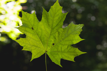 maple leaf green