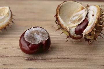 Buckeye or Horse Chestnut