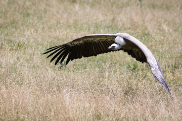 Fototapete - griffon vulture