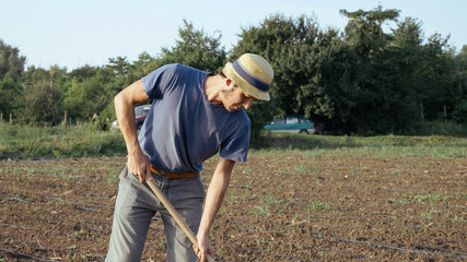 Farmer removes weeds by hoe in corn field with young growth at organic eco farm