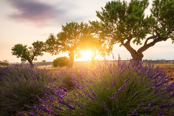 Trees and Lavender fields near Valensole, Provence, France