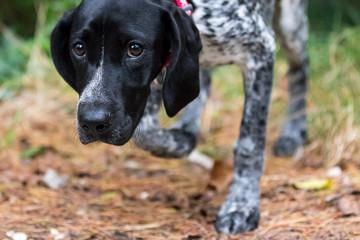 Cane da caccia aalla ricerca