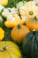 Ripe colorful pumpkins, new harvest, ready to cook and for decoration