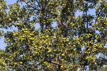 Pears standing in the tree, organic pears,
