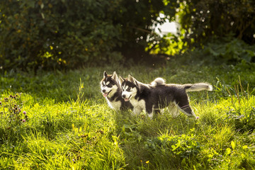 .two husky puppy standing in the grass