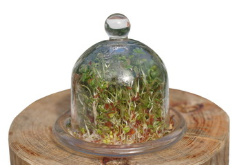 cress growing under a glass cover