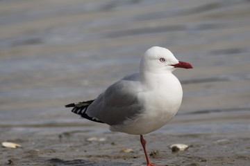 New Zealand sea gull standing on the beach