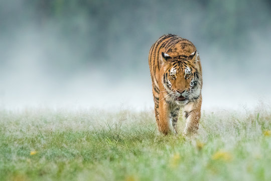 Amazing young Siberian Tiger free in the wild.