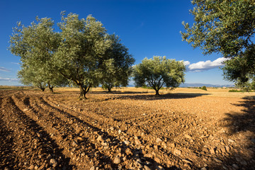 Olive tree field in Valensole in summer. Alpes de Haute Provence, PACA Region, Southern French Alps, France