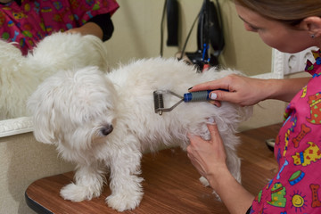 Dog groomer using undercoat rake. Maltese being groomed in salon.