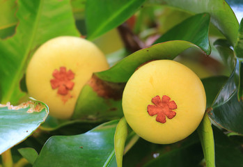 Closed up Pair of Young Mangosteen Fruits on the tree in Thailand, with Selective Focus and Blurred Background