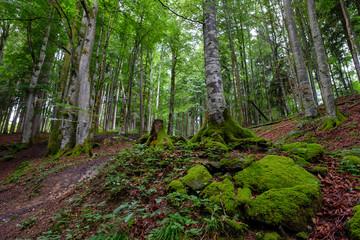 Buchenwald mit bemoosten Steinen im Allgäu
