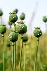 poppy heads with drops of opium milk