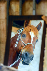 Portrait of a horse in a mirror