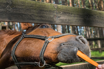 Funny horse eats carrot summer outdoors.