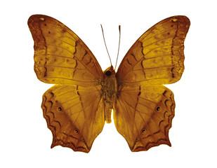 Cruiser Butterfly.(Vagrans erota) on white background.