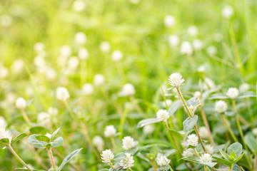 White Gomphrena Globosa Flower.