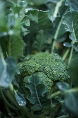 Broccoli growing on vegetable bed