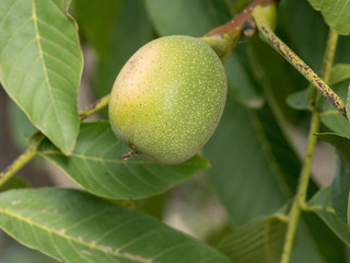 Walnut tree close up with green fruits. Macro shot