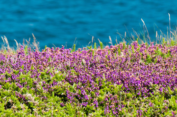 Wild heather by sea