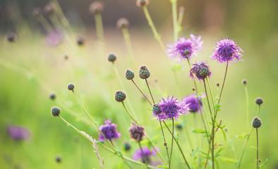 Purple wild flowers in the Sun