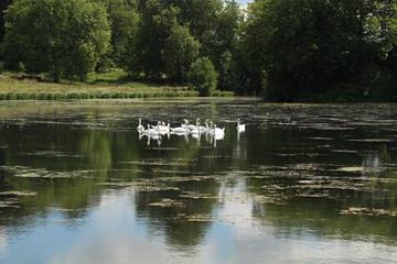 Schwäne auf dem Teich