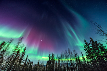 Purple and green aurora / northern Lights over tree line