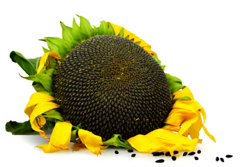 Ripe sunflower isolated on white background