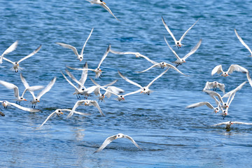 A Flock of  common Tern