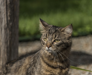 Tabby cat with lead on green grass