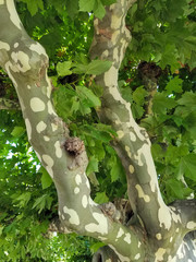 mottled pattern bark on sycamore tree trunk