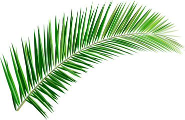 Palm branch. Tropical and exotic plant_Palm leaves. Illustration