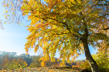 Vibrant yellow Alder golden fall tree at sunny fall day