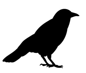 Vector, isolated black silhouette bird, crow